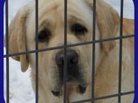 AKC YELLOW ENGLISH LABRADOR AT STUD TO APPROVED