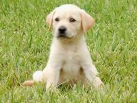AKC reg. female yellow lab puppy. She is raised with