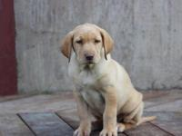 AKC registered. Yellow Labrador retriever puppies.