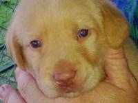 We are selling a champion breed yellow DUDLEY male lab