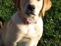 Sadie is a beautiful AKC registered yellow female