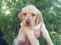 This AKC Yellow Lab is 10 weeks old and full of energy.
