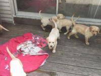 AKC signed up American Labrador Retrievers prepared to
