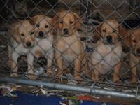 AKC yellow lab puppies we have 3 males offered. They