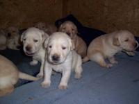 AKC Yellow Lab puppies Ready for there new home in