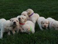 AKC signed up pure-bred yellow labrador puppies trying