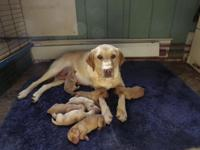 Julie is a beautiful Yellow, AKC registered, female lab
