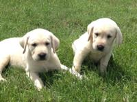 Gorgeous AKC Labrador retriever puppies. They are white