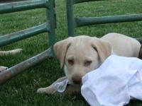 I have a male yellow lab puppy that needs a good home.