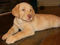 AKC Yellow Labrador Retriever Puppy For Sale: We have a