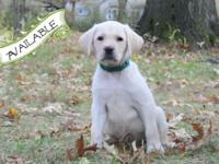 We have an AKC Yellow Male Labrador Retriever Puppy