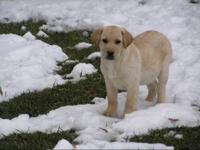 Quality bred yellow labs. Excellent pedigrees. Great in