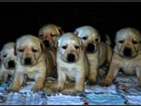 AKC yellow lab pups, both males and females still