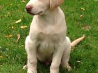We have lovely (MALE ONLY) yellow lab pups. They are 11