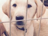 Beautiful registered yellow labrador pups! We have 2