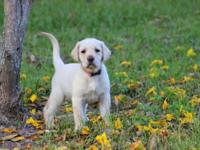 I have 7 BEAUTIFUL yellow lab puppies born 2/3/2015, 4