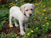 AKC Yellow Labrador Puppies. Born May 7th 2012 Ready