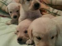 We have 1 male AKC Yellow Lab Puppy available now. He