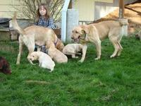 Yellow Labrador Puppies Born 9/5/13 Ready for homes