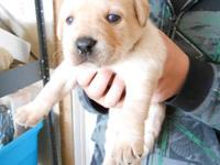 AKC Litter of Yellow Labrador Puppies ready for new