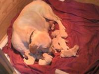 AKC Yellow Labrador Puppies Born Feb 8th 2013.... 3