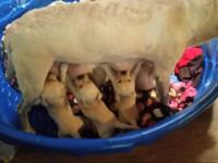 We had 8 beautiful yellow lab puppies. 2 female and 1