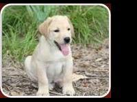 AKC YELLOW LAB PUPPIES Parent's are friendly & have the