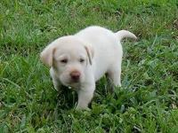 Beautiful akc reg. male lab puppy. He is handled daily
