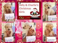 I have a litter of 10 yellow AKC lab puppies, ready the