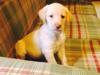 Three adorable female Yellow Labrador Retriver Puppies