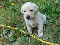 AKC Yellow Labradors. Taking deposits all set for their