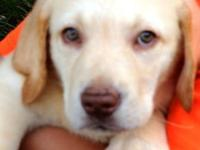 AKC reg. yellow male lab puppies. Only 2 left. they are