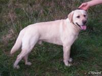 For sale AKC fully registered Male Yellow Labrador. 3.5