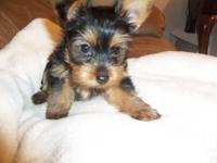 Yorkie Puppies For Sale In West Virginia Classifieds Buy And Sell