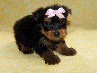 Teacup Yorkie For Sale In Tifton Georgia Classifieds Buy And Sell
