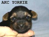 AKC Yorkshire Terrier male puppy Tiny Toy Male D.O.B.: