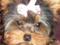 Chloe is a beautiful 7 year old AKC Yorkie, she has a