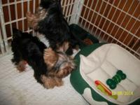 Beautiful AKC Yorkies had three females and only have