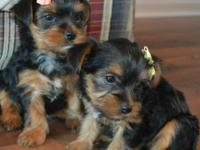 Adorable AKC yorkie available , will come with 1year