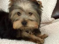 AKC male Yorkie. DOB 11/15/14 had all puppy shots and