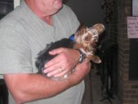 Beautiful and very small AKC Yorkie. 3 yrs old. 4 to 5