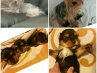 I have 2 gorgeous yorkie puppy a male and a famale(