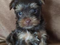 Akc male chocolate Yorkie 900 will be available soon