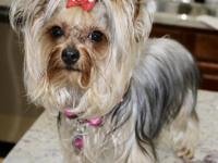 AKC YORKIE....1.5 YEAR OLD,ALL SHOTS UP TO THE DATE AND
