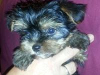 We have AKC Yorkie babies available! Our little teddy