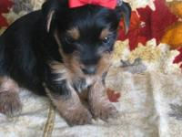 AKC Champion Pedigree Dollface Yorkie Girl, will be up