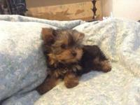 I have a stunning akc lil baby doll face yorkie. She