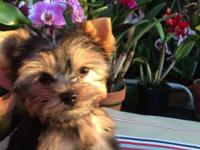 This AKC Yorkie boy is adorable! His coat is black and
