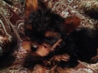 Yappy Yorkies has 3 little boys ready to go to their