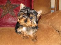HI I AM A TINY AKC YORKIE FEMALE . I WAS BORN ON